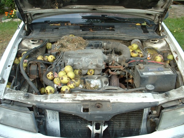 Black Walnuts in the Engine bay of a Dodge Spirit
