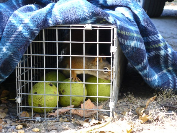 The red squirrel has been caught!