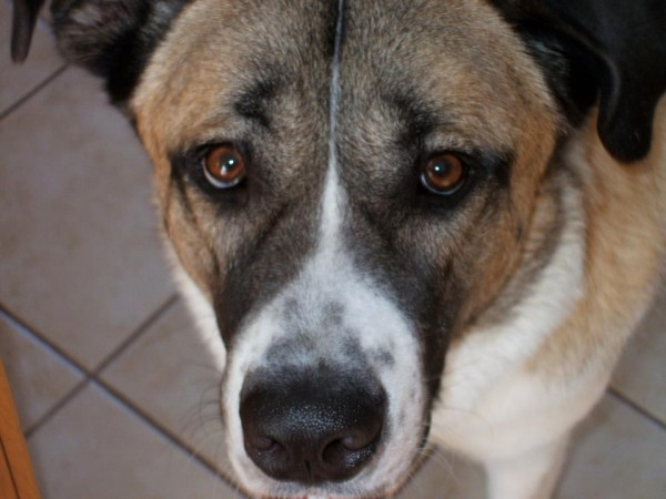 Picture of Roxie the Saint Bernard Labrador Retriever mix breed dog aka Labranard