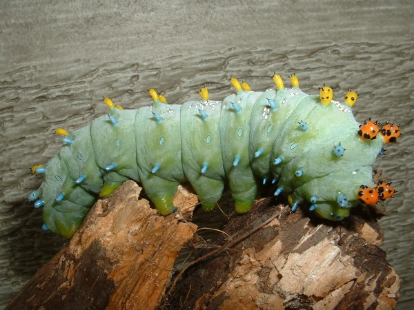 A Giant Silkworm that was in our yard