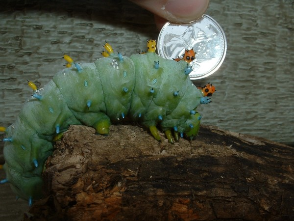 Giant Silkworm with a quarter to show how large this caterpillar is