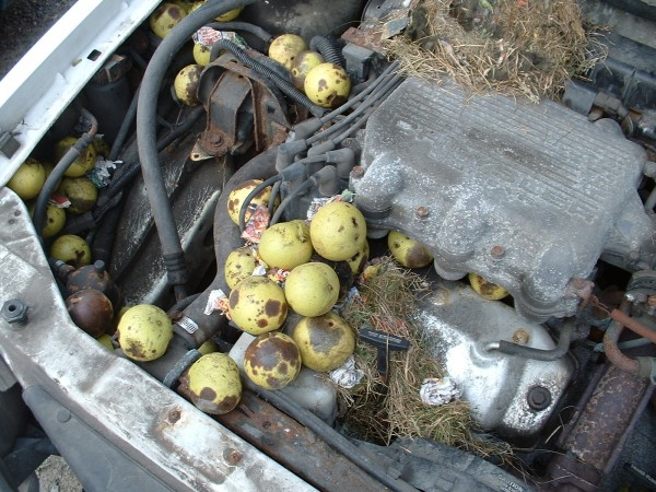 More black walnuts packed tightly in the engine bay